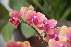 Orquídea de borboleta Imagens de Stock Royalty Free
