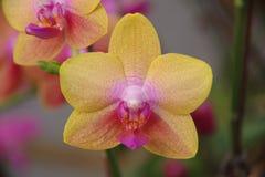 Orquídea de borboleta Imagem de Stock