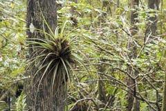 Orquídea de borboleta na árvore de Cypress Foto de Stock