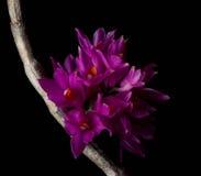 A orquídea de Bracteosum do Dendrobium no fundo preto Imagem de Stock Royalty Free