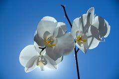 Orquídea de Brightful Fotografia de Stock Royalty Free
