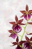 Orquídea de Cambria Fotos de archivo