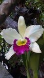 Orquídea de Cateleya Fotografía de archivo