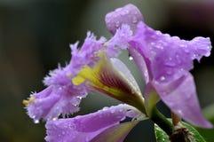 Orquídea de Catleya en flor Fotos de archivo libres de regalías