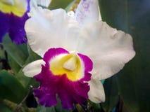 Orquídea de Cattleya Fotografia de Stock Royalty Free