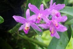 Orquídea de Cattleya Fotografía de archivo
