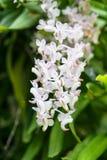 Orquídea de cola de zorra o flor del retusa de Rhynchostylis en el color blanco y Foto de archivo libre de regalías