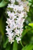 Orquídea de cola de zorra o flor del retusa de Rhynchostylis en el color blanco y Fotografía de archivo