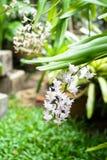 Orquídea de cola de zorra o flor del retusa de Rhynchostylis en el color blanco y Fotos de archivo libres de regalías