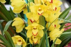Orquídea de conexión en cascada del Cymbidium u orquídea del barco imagen de archivo