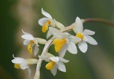 Orquídea de Dendrochilum de Cobb fotos de archivo libres de regalías