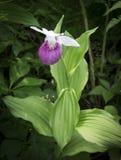 Orquídea de deslizador de señora Foto de archivo