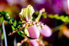 Orquídea de deslizador de señora en Malasia Fotografía de archivo
