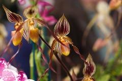 Orquídea de deslizador de señoras imagen de archivo libre de regalías