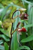 Orquídea de deslizador rara salvaje de Rothschilds Borneo Foto de archivo