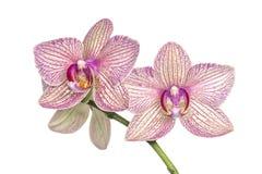Orquídea de florescência Imagens de Stock