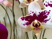 Orquídea de florescência foto de stock