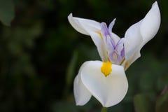 Orquídea de florescência Fotografia de Stock Royalty Free