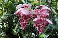 Orquídea de florescência Imagem de Stock Royalty Free