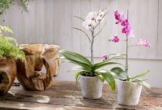 Orquídea de florescência na tabela de madeira do vintage Imagens de Stock Royalty Free