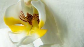 Orquídea de Kaleid de Baldan macro Imágenes de archivo libres de regalías