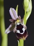 Orquídea de la abeja de Reinhold Fotografía de archivo libre de regalías