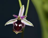 Orquídea de la abeja de Reinhold Imagen de archivo libre de regalías