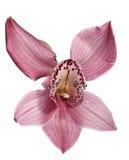 Orquídea de la belleza Imágenes de archivo libres de regalías