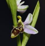 Orquídea de la coalla Foto de archivo