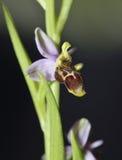 Orquídea de la coalla Foto de archivo libre de regalías