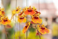 Orquídea de la cultura de Tolumnia imagen de archivo