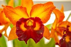 Orquídea de la flor Foto de archivo libre de regalías