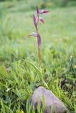 Orquídea de la flor Imagen de archivo libre de regalías
