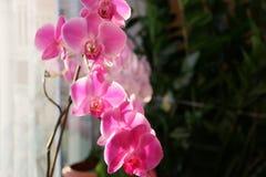 Orquídea de la mañana foto de archivo libre de regalías