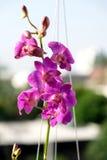 Orquídea de la púrpura de Tailandia fotografía de archivo