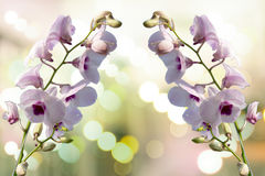 Orquídea de la púrpura de Tailandia imágenes de archivo libres de regalías