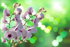 Orquídea de la púrpura de Tailandia fotos de archivo libres de regalías