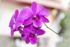 Orquídea de la púrpura de Tailandia imagenes de archivo
