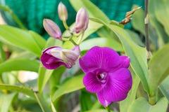 Orquídea de la púrpura de Tailandia fotografía de archivo libre de regalías