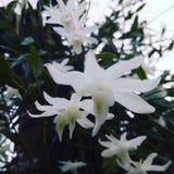 Orquídea de la paloma y x28; Dendrobiun Crumrnatum& x29; Fotografía de archivo