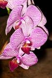 Orquídea de la rama Imagenes de archivo