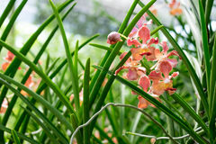 Orquídea de la sol del Udon, orquídea fragante en la alianza de Vanda Fotos de archivo libres de regalías