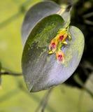Orquídea de Lapanthes Imagem de Stock
