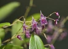 Orquídea de Lepanthopsis da inflorescência do Estrela-rolamento Fotografia de Stock