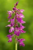 Orquídea de Lorez, loreziana de Orchis x, orquídea salvaje terrestre europea floreciente, hábitat de la naturaleza, detalle de la Fotografía de archivo