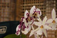 Orquídea de los equestris del Phalaenopsis Imágenes de archivo libres de regalías
