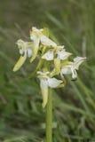 Orquídea de maior borboleta, chlorantha do Platanthera, para a extremidade dela estação de florescência do ` s Fotos de Stock Royalty Free