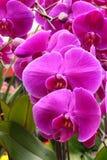 Orquídea de mariposa fotos de archivo