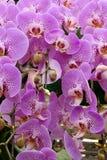 Orquídea de mariposa fotos de archivo libres de regalías