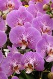 Orquídea de mariposa imagen de archivo